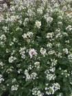 wasabi rocket flowers - powerfully spicy