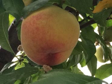Peaches ripening in the glasshouse - they look mouthwateringly delicious
