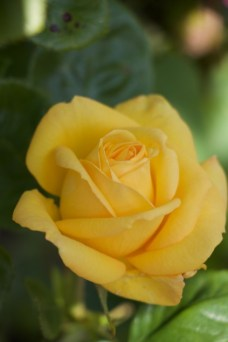 incredibly fragrant yellow rose