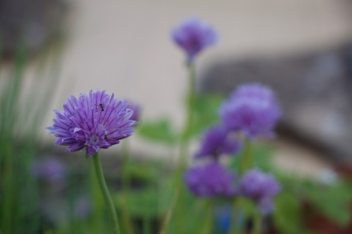 chives with a visiting ant