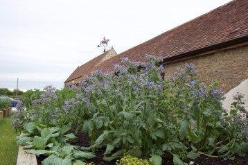 Borage in the herb garden for Roth Bar and Grill