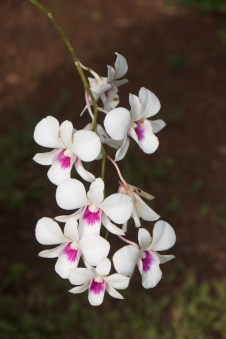There are many orchids in the garden