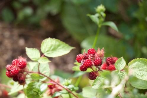 Japanese wine berries