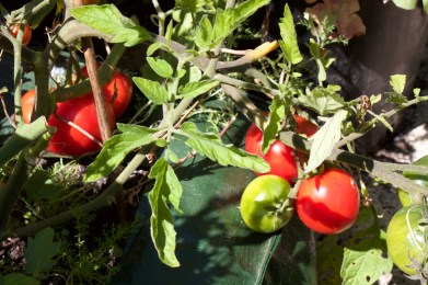tomatoes ripening outside