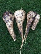 One of these parsnips is actually two which grew into one!