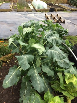 Purple sprouting broccoli and cabbage plants