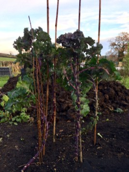 Staked flower sprouts - manure heap in the background
