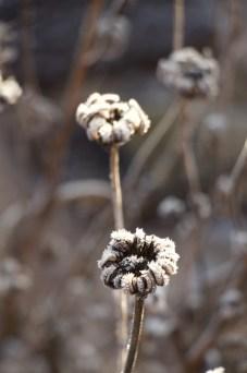 Calendula seed head