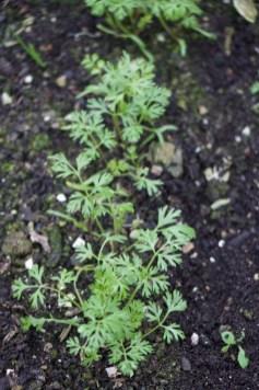 Carrots sown in October