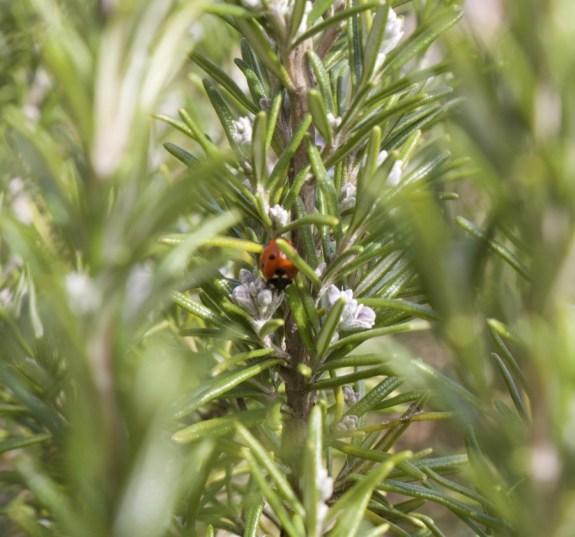 ladybird and rosemary flowers