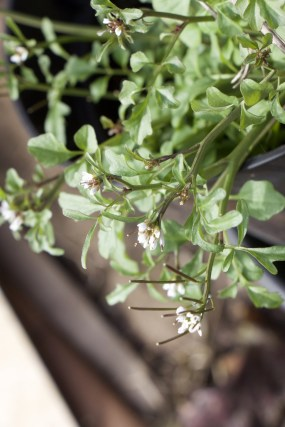flowering hairy bittercress - a widespread edible weed, I don't want it in my veg beds