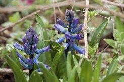 hyacinths growing under a gooseberry