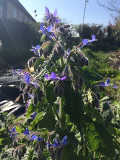 this borage self seeded on the plot