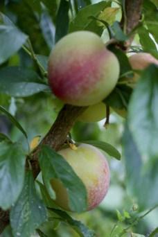 early plum