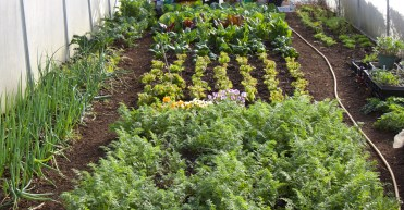 Steph's polytunnel in the spring, everything planted in October