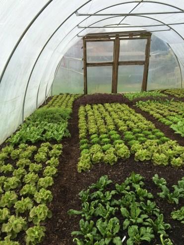 Charles' market garden polytunnel
