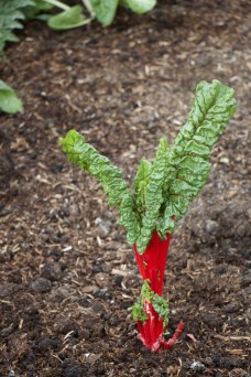 chard, starting to think about flowering but still producing tasty leaves