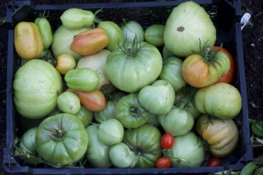 green tomatoes to ripen or for chutney