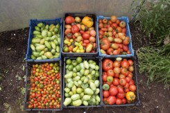 Autumn tomato harvest from polytunnel