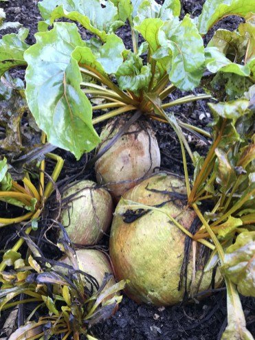 module sown beetroot grown in a family clump