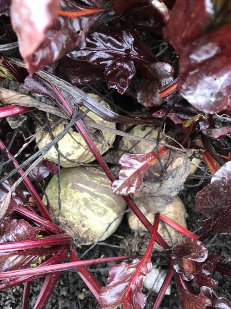 outdoor beetroot looking good under fleece