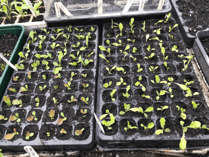 pricked out lettuce seedlings