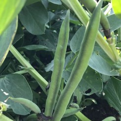 young broadbeans at Roth Bar and Grill