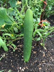 Polytunnel cucumber