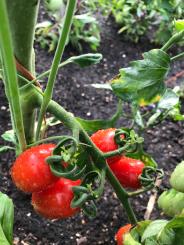 Rosada tomatoes