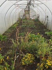 Polytunnel this morning, 17th November