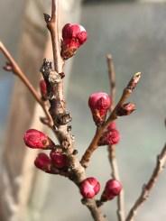 apricot blossom buds