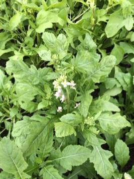 flowering wasabi rocket