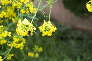 bee on brassica flower (1)