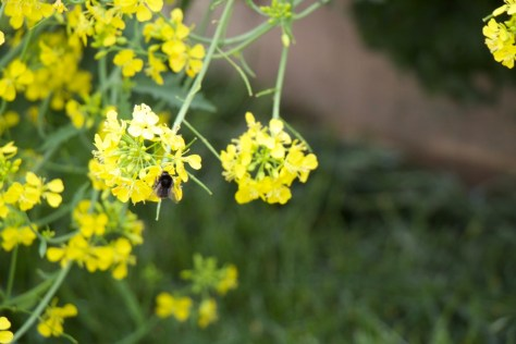 bee on brassica flower (1)