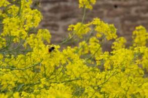 bee on brassica flower
