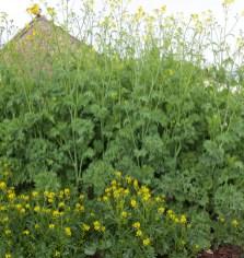 flowering allotment brassicas, 2018
