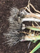this garlic needed harvesting so I could plant tomatoes