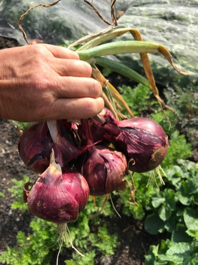 red allotment onions