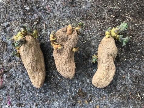 ratte potatoes
