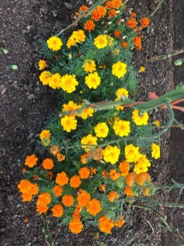 marigolds, companion plants to deter whitefly