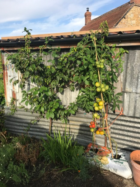 plum beside the little metal shed