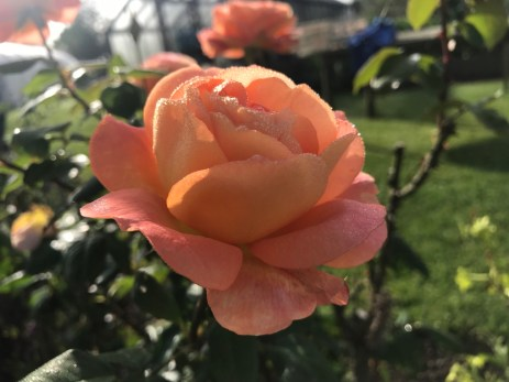Homeacres rose