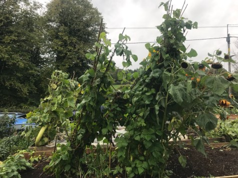 runner beans and Gigantes, at a jaunty angle thanks to the wind