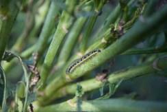 caterpillar on brassicas