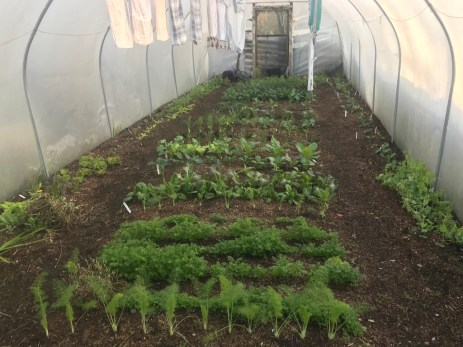 polytunnel - veg and laundry, December 21st