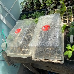 melons sown into modules