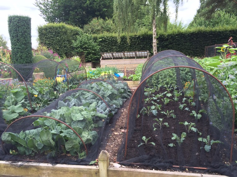 cloches and butterfly netting for brassicas