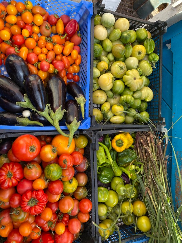polytunnel harvests of ripe and green tomatoes, peppers, aubergines, lemongrass