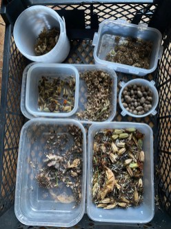 gathering seeds to dry and store for 2021 sowing