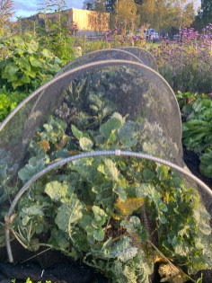 brassicas - this bed was mostly mulched with Natural Grower mulch, everything seems happy so far